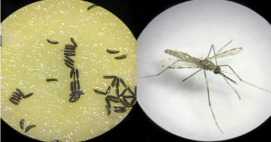La creación de zancudos esteriles con la alteracion del ADN